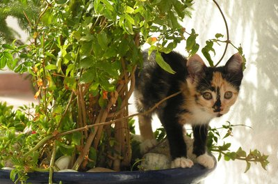 Despite their carnivorous nature, curuious cats are drawn to the scent and texture of herbs.