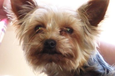 Yorkshire terriers are known to develop eye problems.