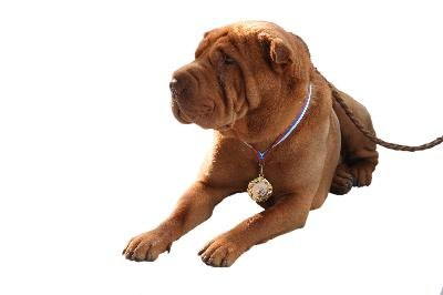 The breed standard has a critical role in Shar Pei eye problems.