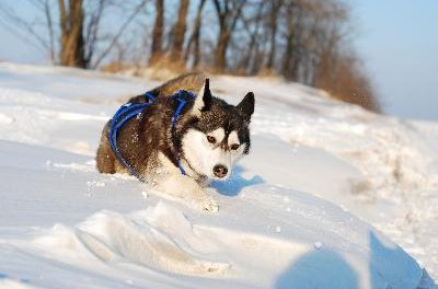Instinct compels your husky to pull.