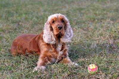 Cocker spaniels frequently suffer from fear-based aggression.
