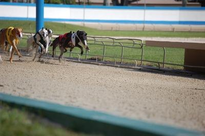 Racing greyhounds are frequently injured on the track.
