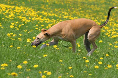Retired greyhounds love to run, sleep and eat.
