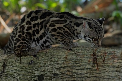 The margay looks like a small version of the ocelot.