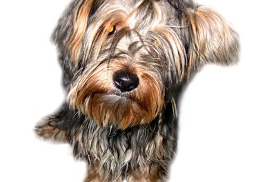 Yorkshire terriers can get into fights with bigger dogs.
