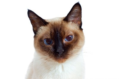 The Tonkinese has a Siamese cat's gregarious nature with a Burmese's playfulness.