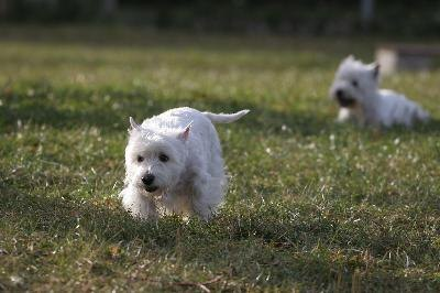 White dogs coats are at risk of stains and other damage, particularly when dogs live an active lifestyle.
