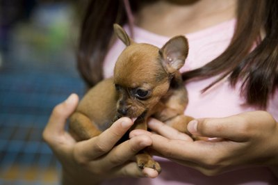 Handle Chihuahua puppies using both hands.
