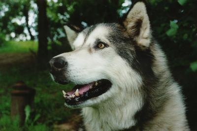Malamutes shed heavily twice a year.