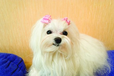 The adorable Maltese is an affectionate family member.