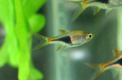 Harlequin rasboras are one of the most recognizable species in the rasbora family.