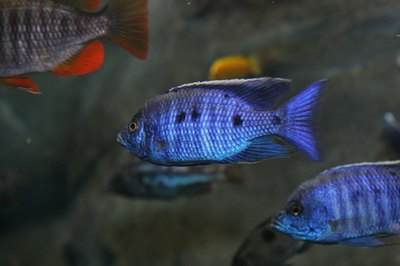 Convict cichlids are one of the easiest cichlids to breed in the home aquarium.