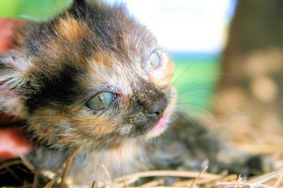 A calico kitten has three colors in her coat.