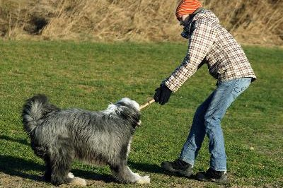 The old English sheepdog is not without inherited health problems.