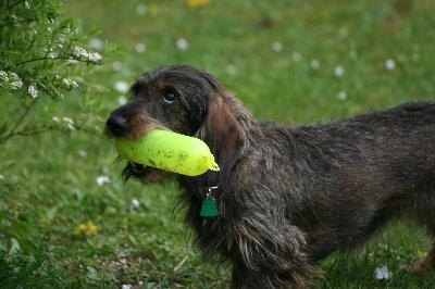 The dachshund's wiry hair can be grown out or clipped close.
