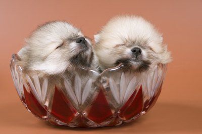 Pomeranian puppies weigh only a few ounces at birth.