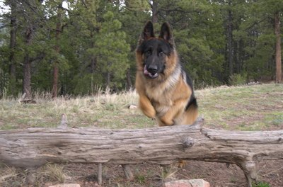 German shepherds are strong, agile and full of energy.