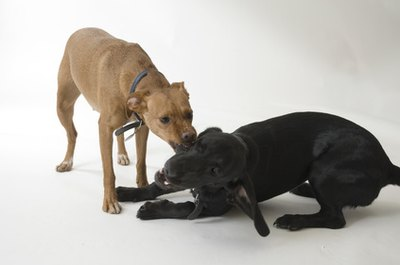 Female dogs often fight among themselves.