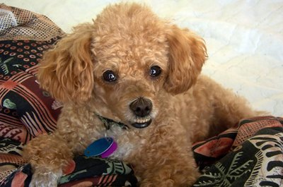 The poodle is a loyal canine craving as much attention as possible from its human companions.
