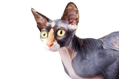 Several breeds of hairless cats don't shed hair.
