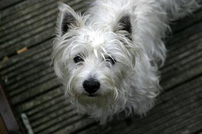 White dogs, including West Highland white terriers, need special grooming to maintain a snow-white coat.