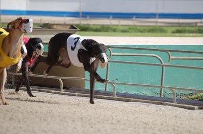 Ex-racing greyhounds usually are put up for adoption.
