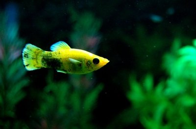 Guppies are known for their long fins and bright colors.