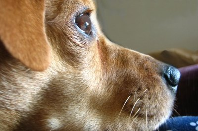 An ailing dog may have a bacterial infection.