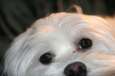 Follow the natural part when separating your Maltese's hair.
