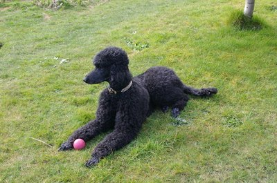 Standard poodles are smart dogs that require lots of attention and physical exercise.