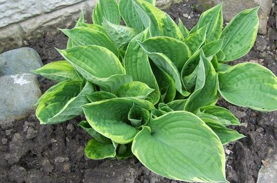 Hostas are shady characters in more ways than one.