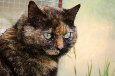 Tortoise shell cat information pets - Images of tortoiseshell cats ...