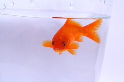 A healthy goldfish can live up to eight years in captivity.