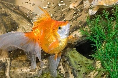 Yellow water in your fish tank can be good or bad.