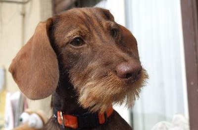 Wire-haired wiener dogs have thick, water-resistant coats.