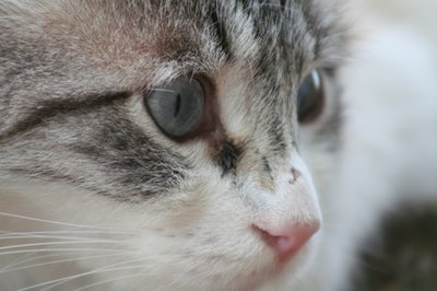 Blindness in cats is difficult to test.