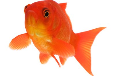 Goldfish will eat fresh or commercial fish foods.