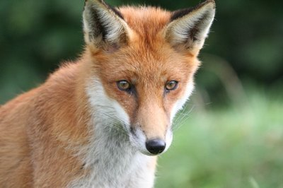 Foxes may be a source of mites in dogs.