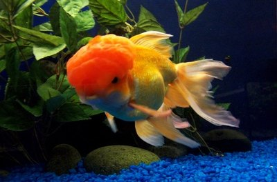 Oranda goldfish are known for their wens that develop by age 2.
