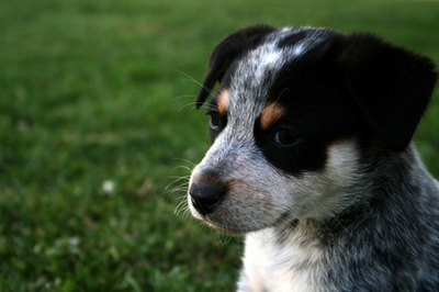 It can take as little as two days for a pup to adjust to his new home.