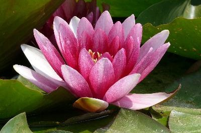 A water lily adds color and oxygen to your betta tank.