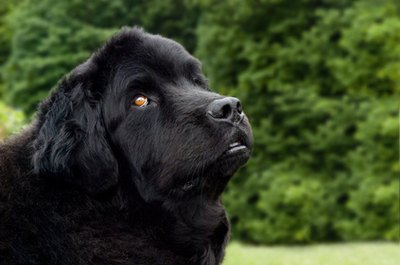 Newfies grow from fluffy puppies to big dogs quickly.