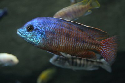 African cichlids thrive in captivity with proper care.