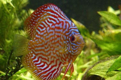 Discus fish are cichlids that feed their young body slime.