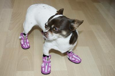 Get your Chihuahua used to wearing booties before his walk.