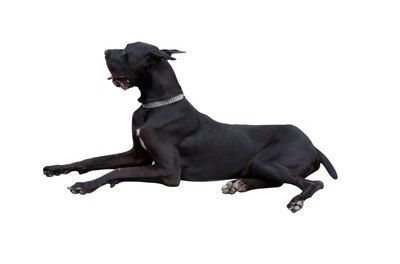 The majestic Great Dane.