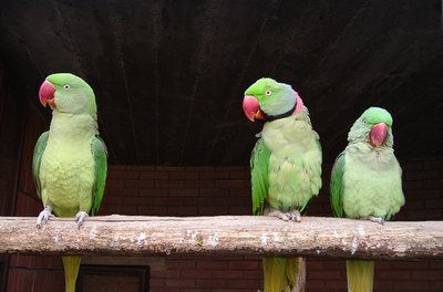 Ringnecks are intelligent birds that can learn up to 250 words.
