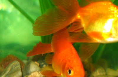 A healthy goldfish aquarium should not smell fishy.