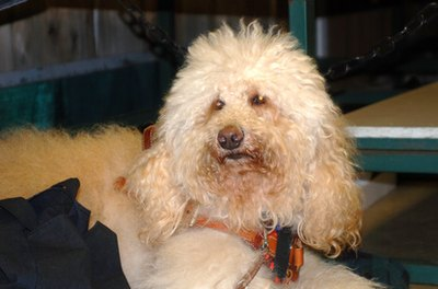 Poodles are often bred with other purebred dogs.