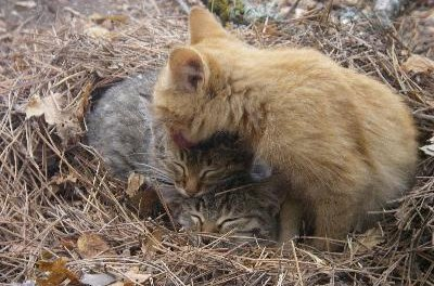 Kittens frequently lick each other and their owners.